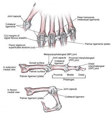 Metacarpophalangeal ligaments.