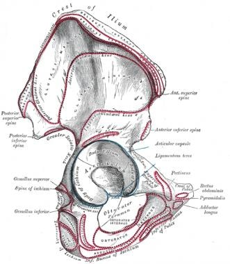Pelvis and acetabulum, with muscle attachment site