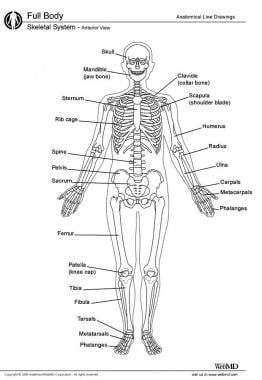osteology (bone anatomy): overview, gross anatomy overview, gross, Skeleton
