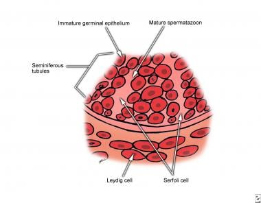 Testicular histology magnified 500 times. Leydig c