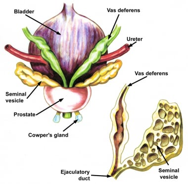 Anatomy of the prostate and bladder, posterior vie