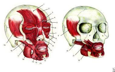 Facial muscles:   1. Galea aponeurotica 2. Fron