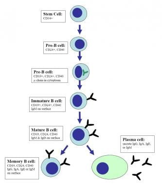 During the primary antibody response, B cells in t