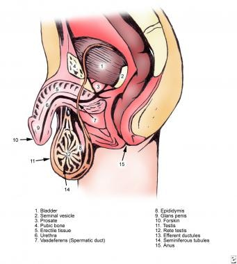 ductus deferens (vas deferens) and ejaculatory duct anatomy, Human Body
