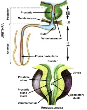 Anatomy of the prostate and urethra.