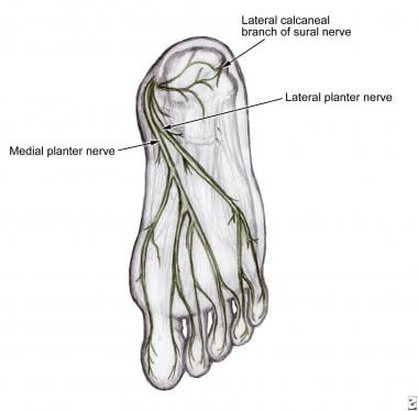 Medial and lateral plantar nerves after branching