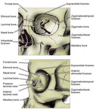 Orbit anatomy showing Supraorbital and supratrochl