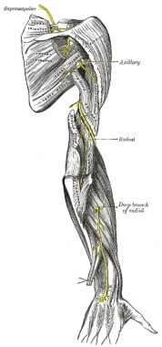 The Radial Nerve from Gray's Anatomy (published 19