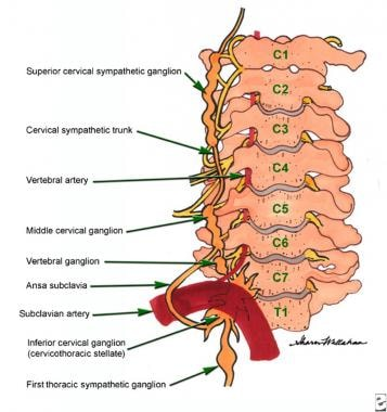 Schematic anatomical representations, sympathetic