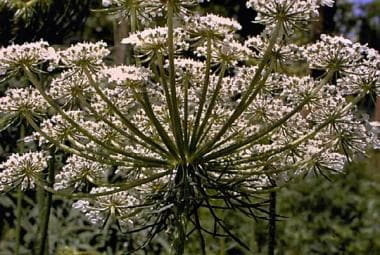 Queen Anne's lace, a member of the Umbelliferae fa