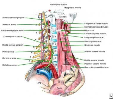Cervical and superior thoracic anatomy (anterolate