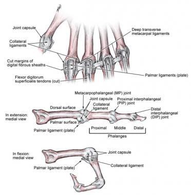 Finger ligaments anatomy