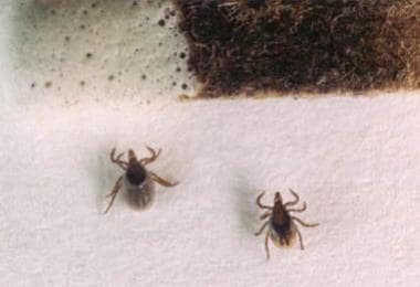 This photo shows 2 nymphal Ixodes scapularis ticks