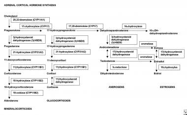 Synthesis of adrenal cortical hormones. CYP = Cyto
