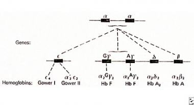 Alpha chain genes in duplication on chromosome 16
