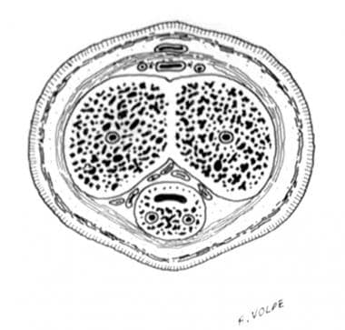 Transverse section of the penis at midshaft level.