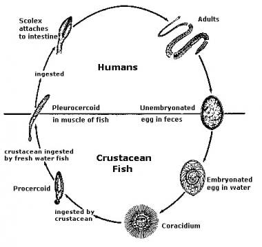 Life cycle of diphyllobothrium.