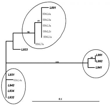 Phylogenetic tree showing sequence analysis of hum
