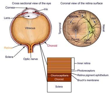 Anatomy of the eye.
