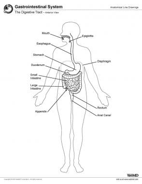 Digestive tract, anterior view.