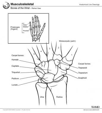 Carpal bones, metacarpals, and phalanges are all s