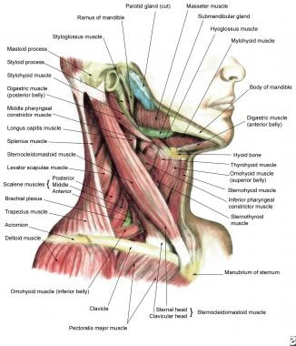 Lateral view of the muscles of the neck.