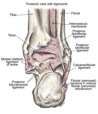ankle joint anatomy: overview, lateral ligament anatomy and, Human Body