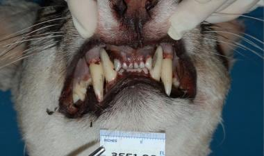 Evaluation of the apprehended cougar demonstrated