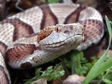 Snake envenomations, moccasins. Copperhead (Agkist