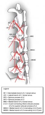 Innervation of the facet joints; dorsal ramus inne