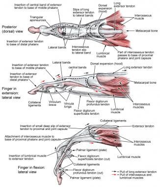 Metacarpophalangeal musculoskeletal structure.