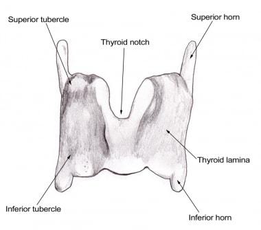 Larynx anatomy.