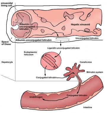 Enterohepatic circulation of bilirubin.
