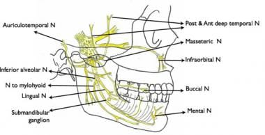 Branches of the mandibular nerve