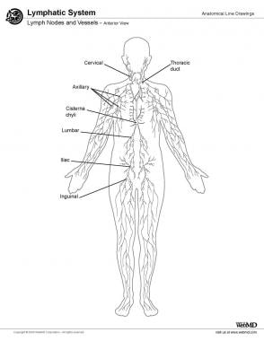 Lymph nodes and vessels, anterior view.
