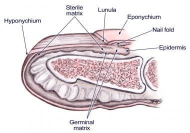 Nail bed anatomy figure 1.