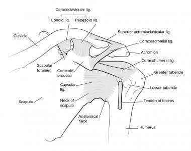 acromioclavicular joint injections: background, indications, Human Body