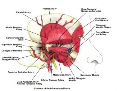 Contents of the infratemporal fossa.