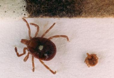 Amblyomma americanum is the tick vector for monocy