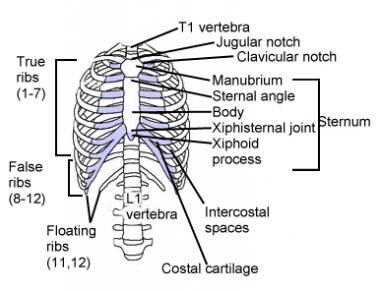 Illustration of rib cage, demonstrating ribs and c