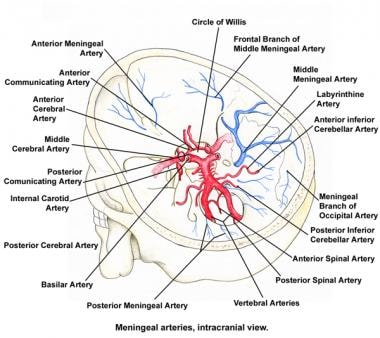 Meningeal arteries, intracranial view.