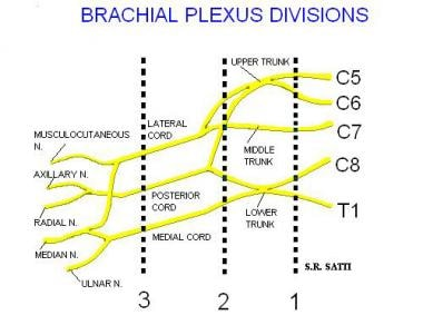Diagram of the brachial plexus.