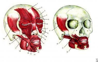Facial muscles: 1) Galea aponeurotica, 2) Frontali