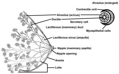 Schematic diagram of the breast.