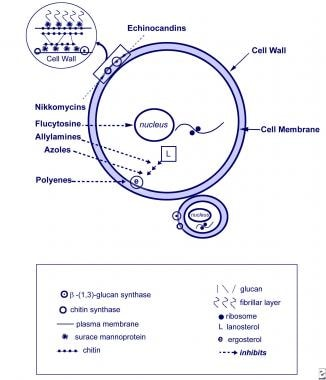 Antifungal mechanisms. Yeast cell and targets of a