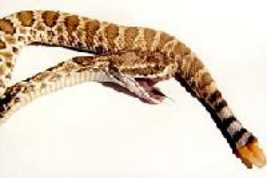 This is a juvenile Mojave rattlesnake (postmortem)