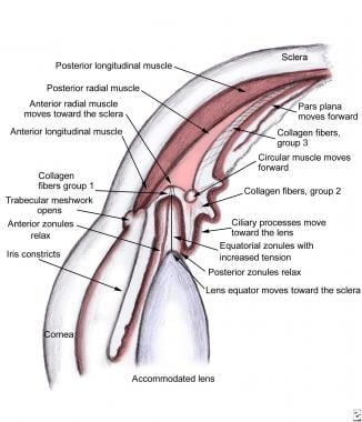 Schema of the configuration of the ciliary body in