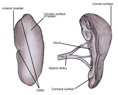 Spleen anatomy. The spleen's surfaces and splenic