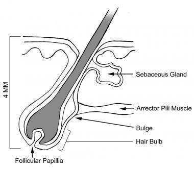 Anatomy of a hair follicle.