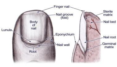 Nail bed anatomy.